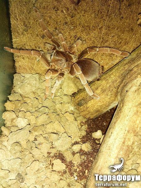 Pelinobius-muticus