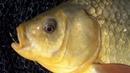 Уловистая насадка для белой рыбы с укропом Карась Лещ Плотва