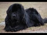 Terranova (Newfoundland) - Raza de Perro