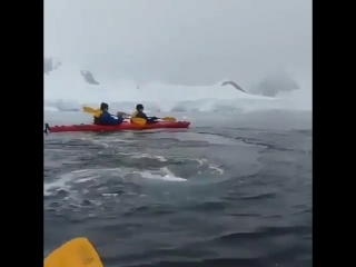 Киты проплыли рядом с каяком в Антарктике