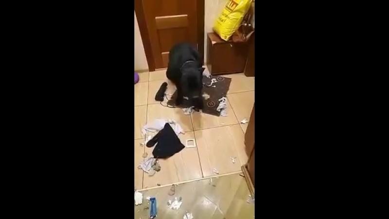 ШОК! Что натворила собака Кане Корсо дома