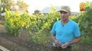 На своем участке садовод любитель из Урмарского района выращивает теплолюбивые культуры