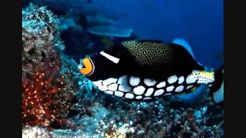 Египет. Обитатели Красного моря (Magnus Ryan diving)