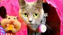Кошка знакомится с мышкой! Съест или нет? КОШКА приняла ХОМЯКА за КОТЕНКА! Хомяк в шоке) Про кошек