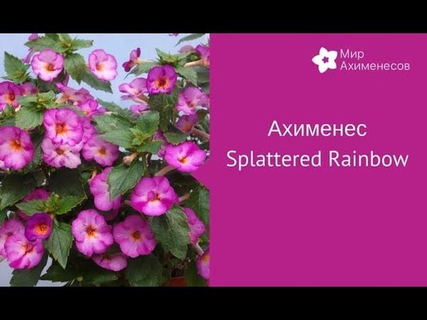 Ахименес Splattered rainbow Сплэтэд Рэйнбоу