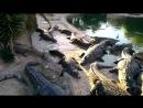 Сытые крокодилы