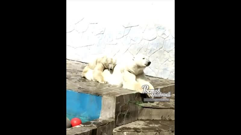 Белые медведи милуются в зоопарке 4.5.2019 Ростов-на-Дону Главный
