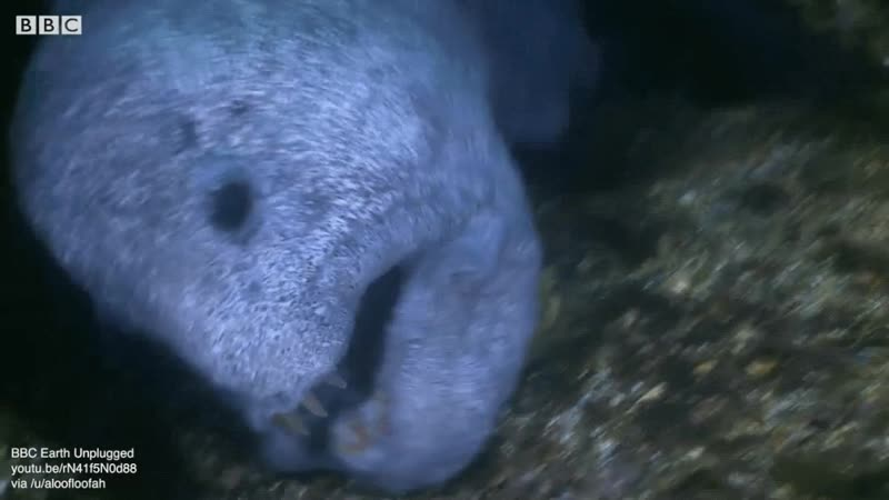 Despite appearance wolf eels are curious and are rarely aggressive. They pair up for life and inhabit a cave together watching t