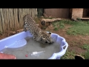Black Spotted Leopard Cub Pool Party _ African Big Cats Cool Off Dunk For Toys