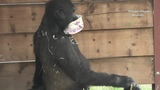Gorilla Lope And the Empty Yoghurt Tub