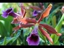 Что цветет в моем орхидейном саду С. tenebrosa Rainforest