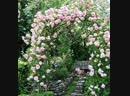 Как правильно подвязывать плетистую розу к опоре