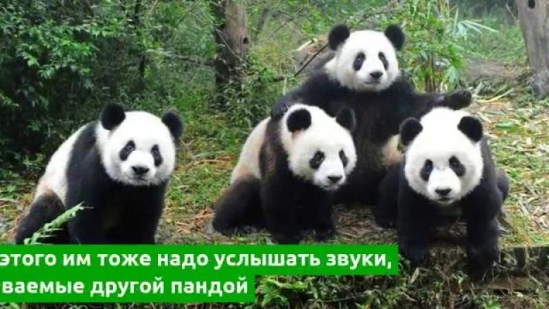 Гигантские панды узнают друзей по голосу