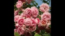 Розы на штамбе Jasmina Жасмина