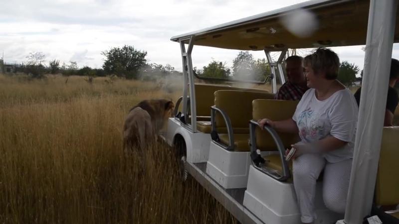 До чего народ дошел львов не боится Красавец Марсель