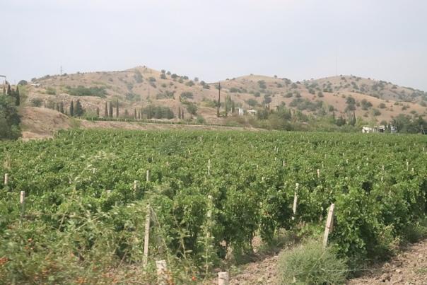 Медведевские виноградники