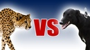 Cheetah vs Greyhound World's Fastest Dog In Super Slow Motion Slo Mo 29 Earth Unplugged