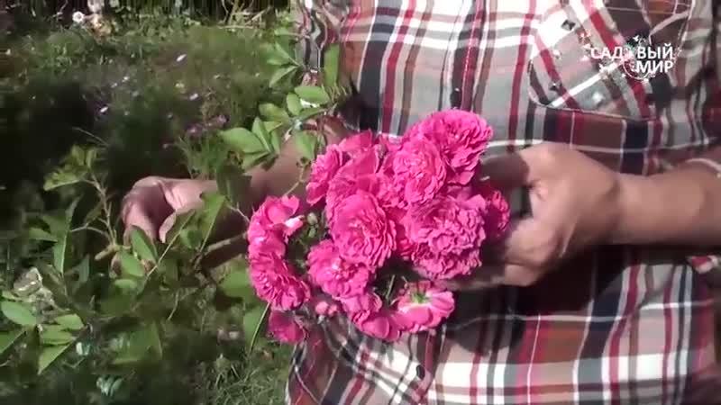 Надо ли обрезать цветы у розы Школа цветоводства
