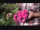 Надо ли обрезать цветы у розы-Школа цветоводства