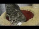 Fantastic Cat Rous 11 mo female spayed Фантастически ласковая кошечка Роуз и 1
