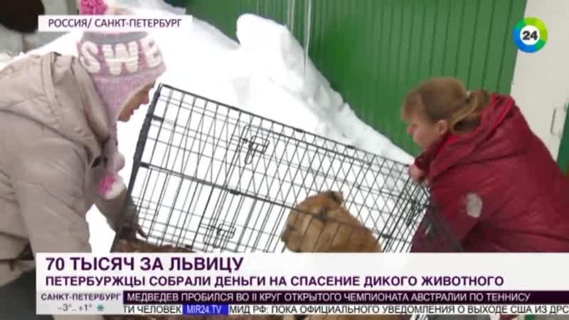 Петербуржцы выкупили львенка