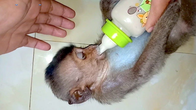 Poor baby Lori drink she hungry Story Monkey