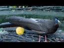 Аргус экзотическая птица
