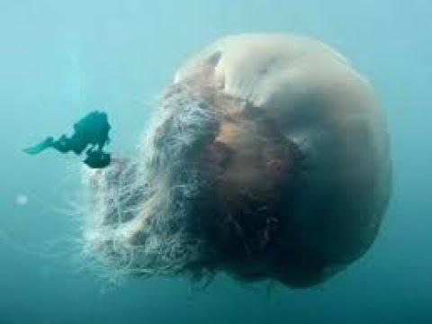 Самая крупная в мире медузой заслужила Cyanea capillata arctica или Цианея гигантская.
