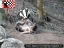 Krabbende das Meles meles 2 Badger scratching 2