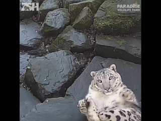 Снежный барс увидел, что его снимает скрытая камера