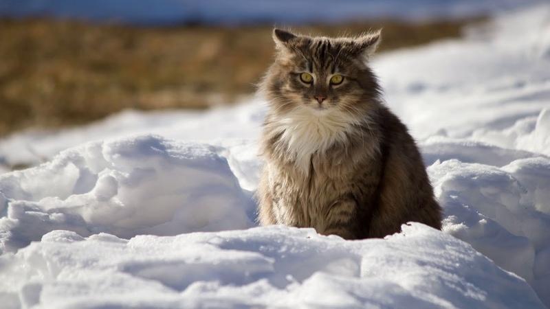 Картинка кошки. Кот, зима, пушистый.