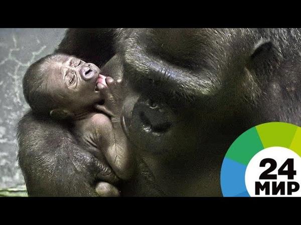 В Московском зоопарке родился детеныш редкой равнинной гориллы - МИР 24