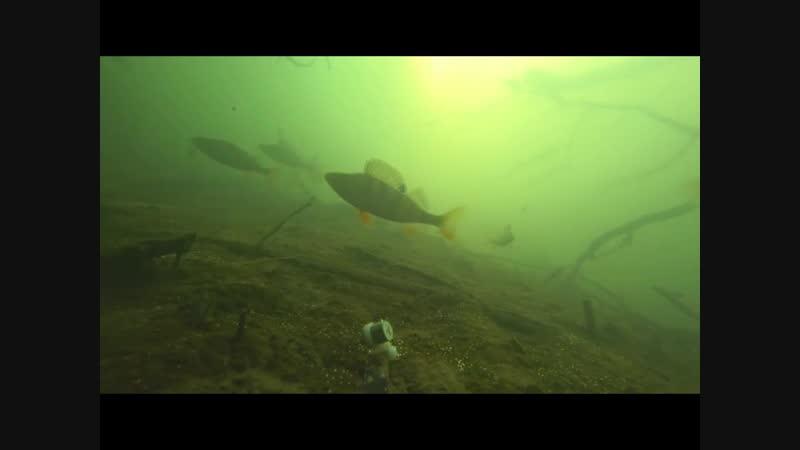 МИГАЛКА ЗОМБИРУЕТ ОКУНЯ!! Интересная подводная съемка.
