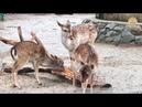 Рёв европейской лани. Тайган. Крым. The roar of the European fallow deer. Taigan Crimea.