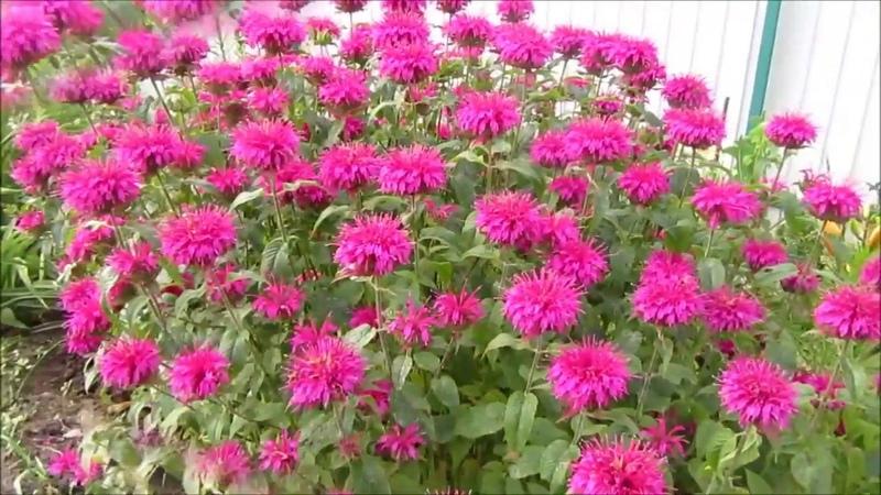 Монарда пряное лечебное эфиромасличное и декоративное растение