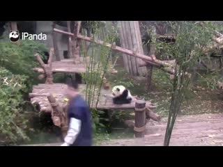 Панда обожает обниматься