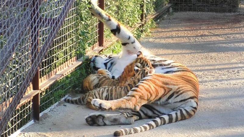 Скарлетт и малыши. Тигры. Тайган | Scarlett and tiger cubs. Tiger. Taigan