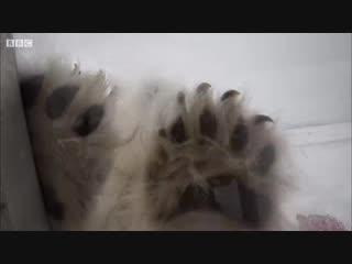 Оператор снял на видео атаку белого медведя на контейнер с человеком внутри