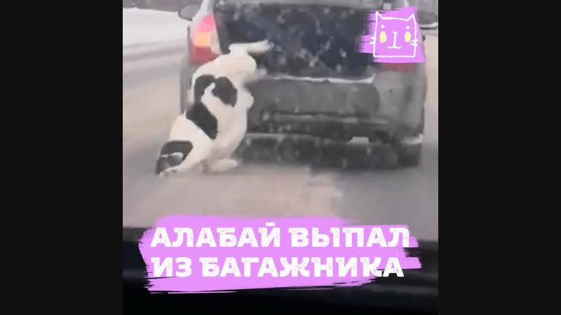 Алабай выпал на полной скорости из машины