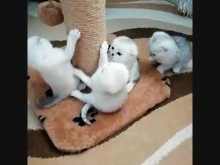 Банда) Шотландские котята серебристая шиншилла 1 месяц.