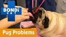 Как узнать, нет ли у мопса проблем с дыханием / How To See If Your Pug Isnt Breathing Properly