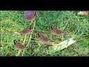 Bẫy Chim Sẻ Đơn Giản Độc Mà Lạ -【SĂN HÁI TV】