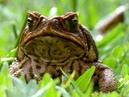 В мире животных. Отцовский инстинкт у лягушек