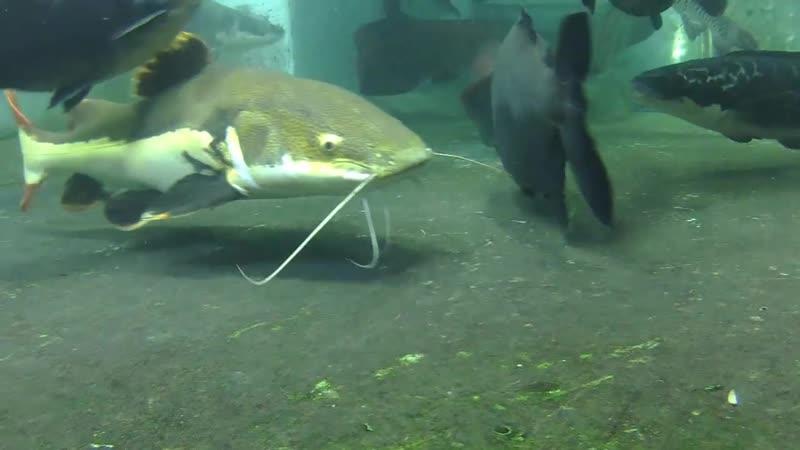 My big fish pond Underwater photography Arapaima Gigas