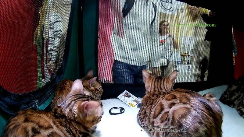 15092018, Выставка кошек, Харьков, Радмир Экспохолл, WCF, 9