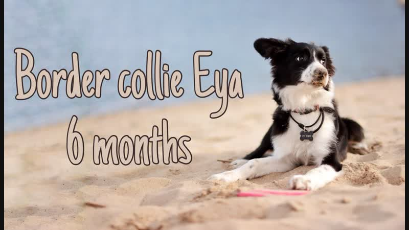 Border collie Eya 5 months