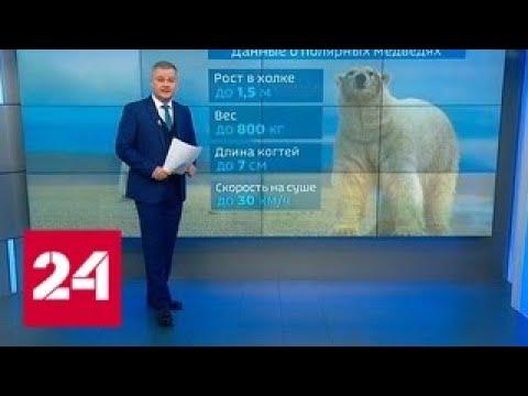Медвежья осада хищники зачастили в чукотское село - Россия 24