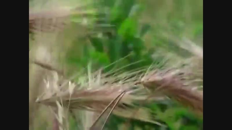 Пшеница и плевелы