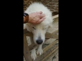 Italian Maremma sheepdog makes a loving offer one can't refuse...!