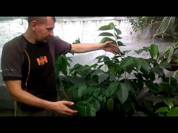 Кофе Вырастить самому и пить под пальмами Балашова. -)